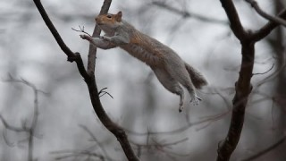 Squirrel Misses the Branch