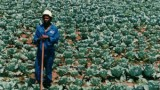 Black Farmers Shut Out Of $10 Billion Legal Marijuana Business